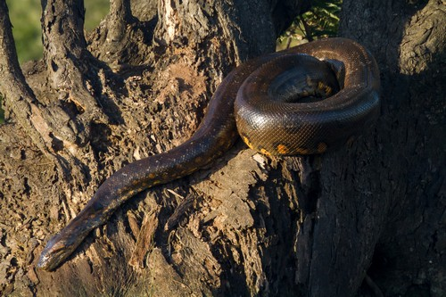 interesting_facts_about_anacondas6