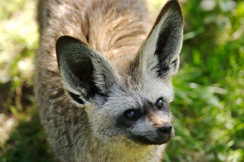 interesting_facts_about_bat_eared_fox8-ap