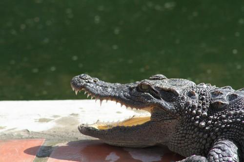 Interesting Facts about Crocodiles VS Alligators