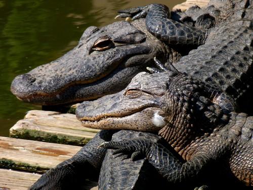 interesting_facts_about_crocodile_vs_alligator4
