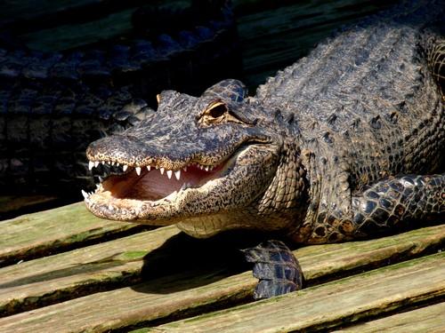 Crocodiles VS Alligators