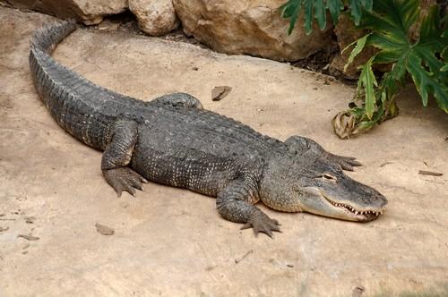 interesting_facts_about_crocodile_vs_alligator7