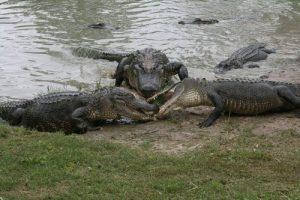 interesting_facts_about_crocodile_vs_alligator8