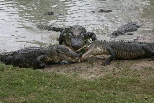 interesting_facts_about_crocodile_vs_alligator8-ap