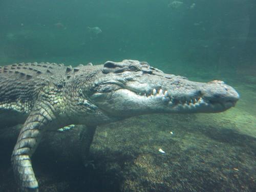 crocodiles4