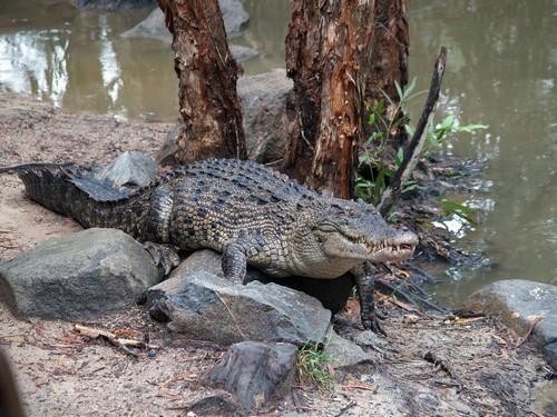 crocodiles1