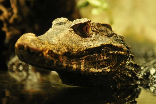 interesting_facts_about_crocodiles8-ap