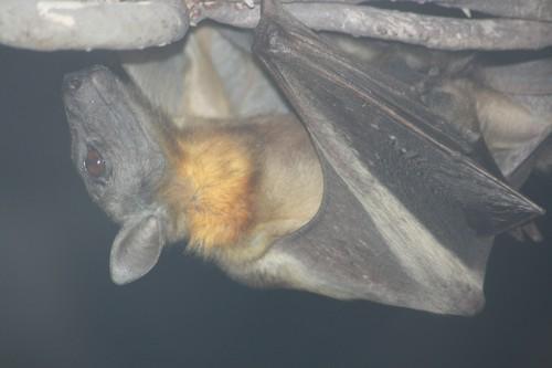 fruit-bats2