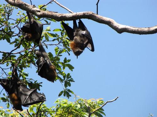 Fruit Bats Babies