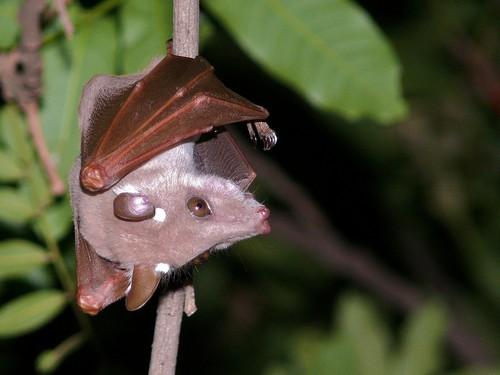 interesting_facts_about_fruit_bats8-ap