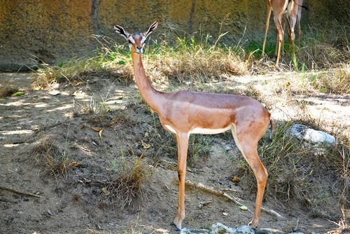 interesting_facts_about_gerenuk8-ap