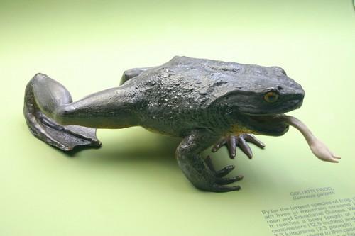 Goliath Frog behaviour
