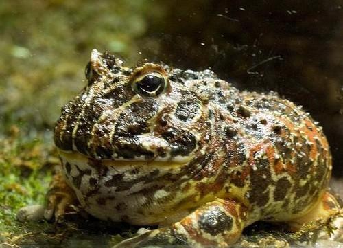 Goliath Frog Sizes