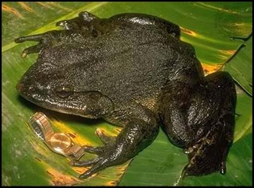 goliath-frog1