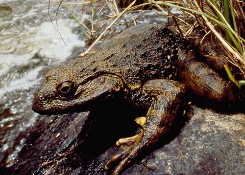 Goliath Frog habitat