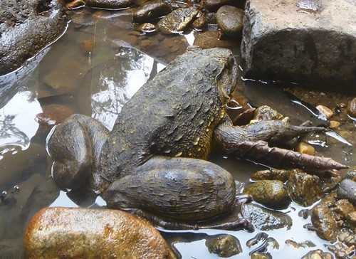 interesting_facts_about_goliath_frog8-ap