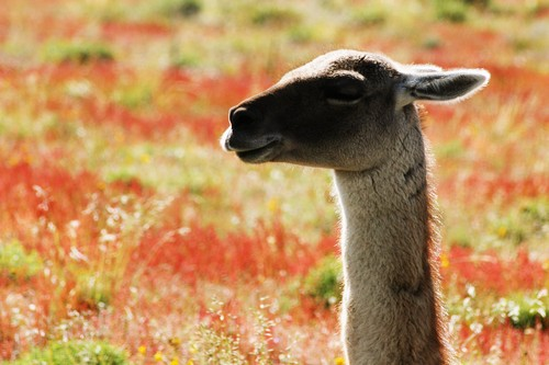 Guanaco facts