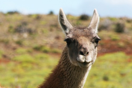 interesting_facts_about_guanaco8-ap