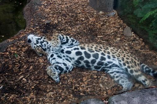interesting_facts_about_jaguar1