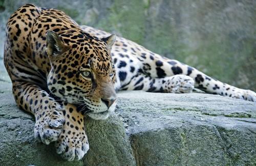 interesting_facts_about_jaguar2