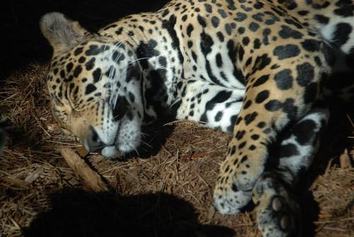 interesting_facts_about_jaguar3