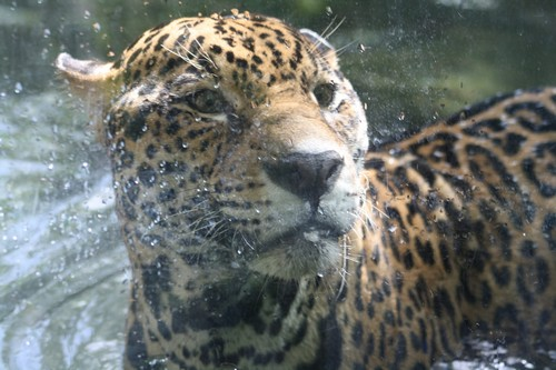 interesting_facts_about_jaguar5