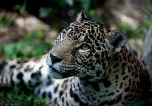 interesting_facts_about_jaguar8