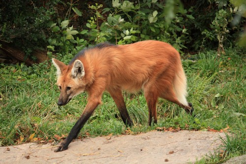 maned-wolf2