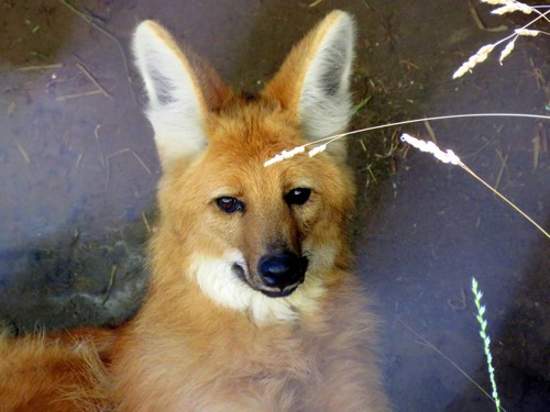 Maned Wolf voice