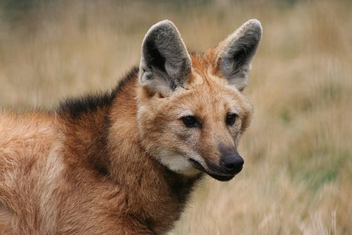 interesting_facts_about_maned_wolf8-ap