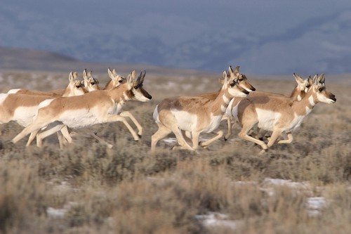 interesting_facts_about_pronghorn1