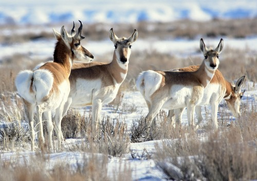 interesting_facts_about_pronghorn7
