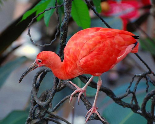 interesting_facts_about_scarlet_ibis1
