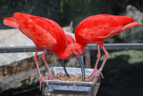 interesting_facts_about_scarlet_ibis2