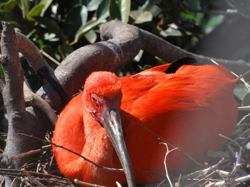 interesting_facts_about_scarlet_ibis3