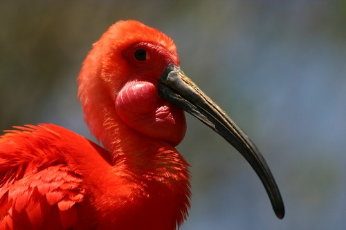 interesting_facts_about_scarlet_ibis4