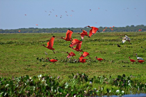 interesting_facts_about_scarlet_ibis5