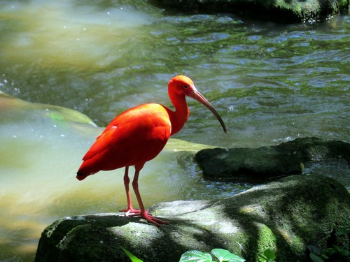 interesting_facts_about_scarlet_ibis6