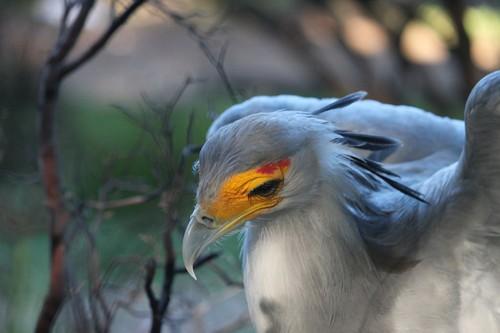 Secretary Bird size