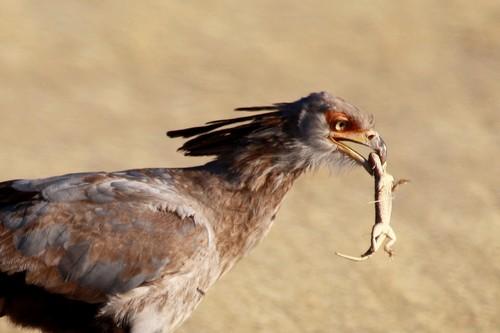 Secretary Bird diet