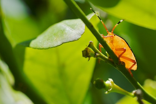 Stink Bug behavious