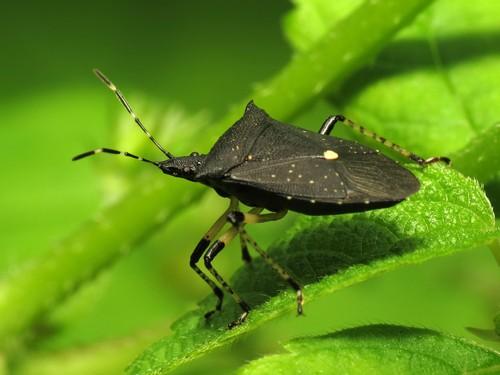 stink-bugs1