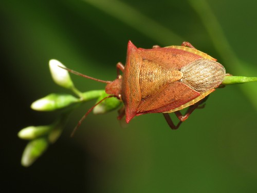 Stink Bug reporoduction