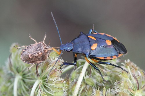 Stink Bugs facts