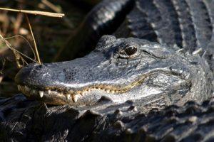 interesting_fatcs_about_alligators8