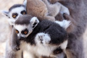 interesting_facts_about_baby_lemur8