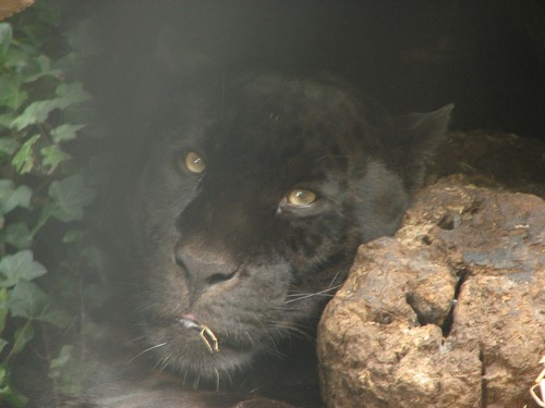 Fascinating Black Jaguar Pictures. Interesting_facts_about_black_jaguar5.  Interesting_facts_about_black_jaguar6. Interesting_facts_about_black_jaguar1