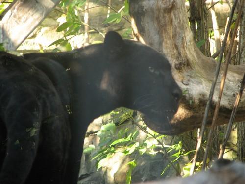 interesting_facts_about_black_jaguar4