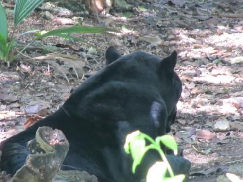 interesting_facts_about_black_jaguar5