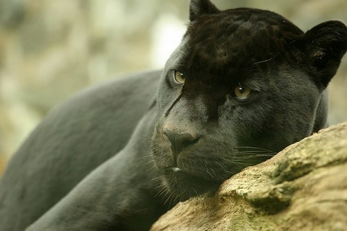 Interesting_facts_about_black_jaguar6.  Interesting_facts_about_black_jaguar1.  Interesting_facts_about_black_jaguar2. Interesting_facts_about_black_jaguar7